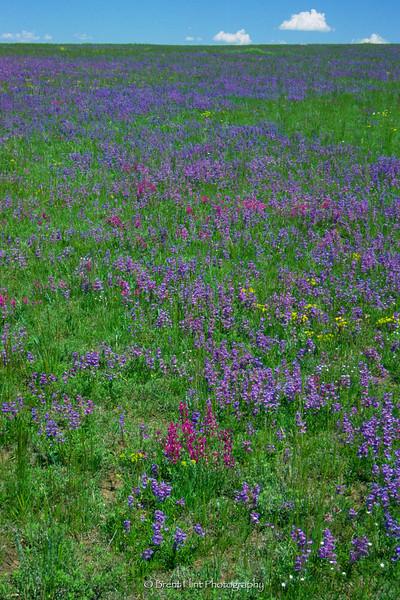 S.1567 - field of wildflowers, Douglas County, CO.