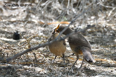 Adult and juvenile California Thrasher  - 4/13/2019 - Agua Caliente County Park Campground
