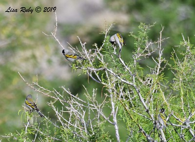 4 male Lawrence's Goldfinch  - 4/14/2019 - Agua Caliente County Park Campground