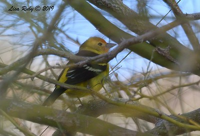 Western Tanager  - 4/14/2019 - Agua Caliente County Park Campground