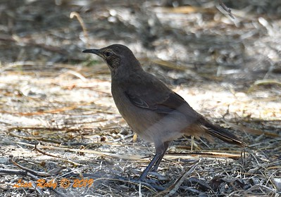 Juvenile California Thrasher  - 4/13/2019 - Agua Caliente County Park Campground