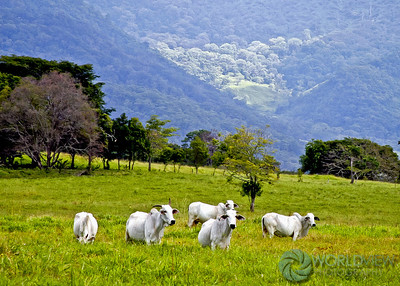 Cattle in mountain pasture (Mexico)