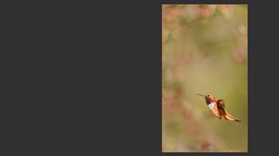TINY JEWEL   ~  RUFUS HUMMIINGBIRD