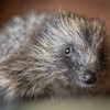 Wirral Animal Sanctuary Hedgehogs