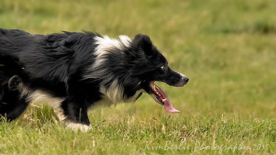 Border Collie Trials