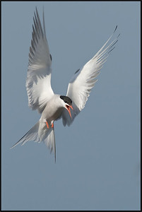 Sterna Comune - Common Tern ( Sterna hirundo )  Giuseppe Varano - Nature and Wildlife Images - Birds and Nature Photography