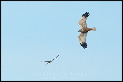Sterna Comune - Common Tern ( Sterna hirundo ) vs Falco di palude - Marsh Harrier ( Circus aeruginosus )  Giuseppe Varano - Nature and Wildlife Images - Birds and Nature Photography