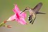 Black-chinned Hummingbird - 1
