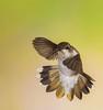 Black Chinned Hummingbird - 3