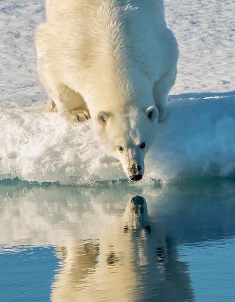 Polar Bear Reflection II