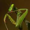 Preening Praying Mantis