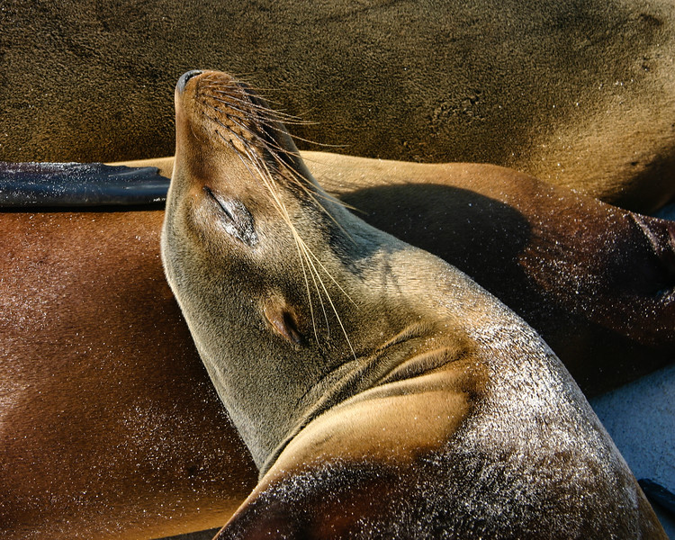 Sea Lion Pillow