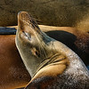 Sea Lion Pillow