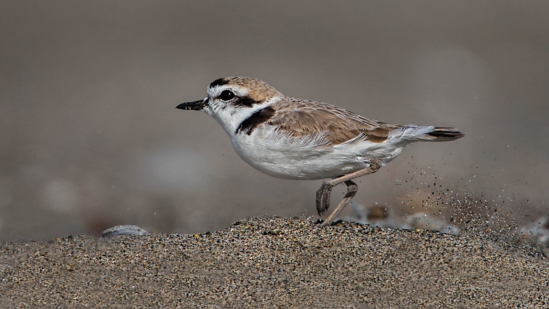 The Endangered Snowy Plover