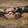 African Wild Dogs Devour Impala Kill