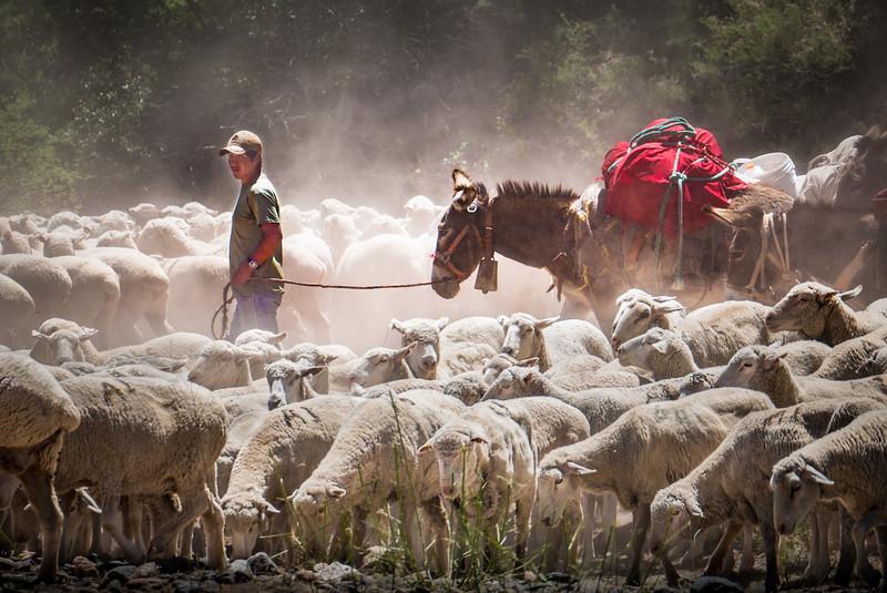 Sheep Herding in the Verde Valley