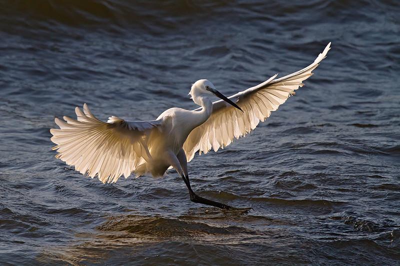 Lake Victoria Egret
