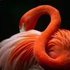 Coy Flamingo