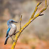 Woodhouse Scrub Jay