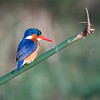 Malechite Kingfisher