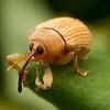 Acorn Weevil - Lignyodes helvolus