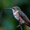 Female Rufous Hummer