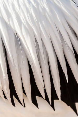 Pelican Feathers