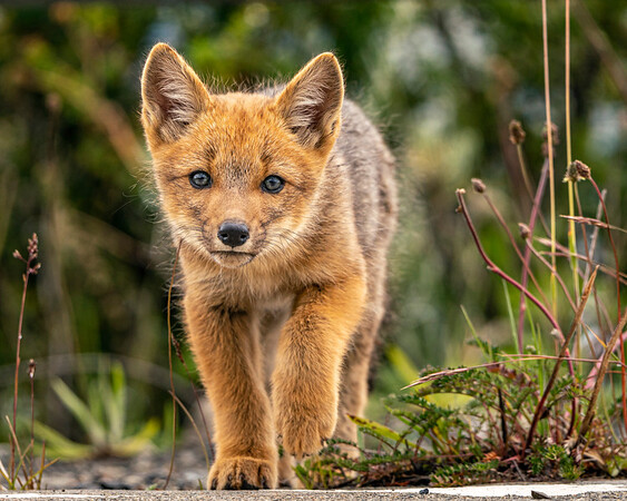 Cutest Fox Ever