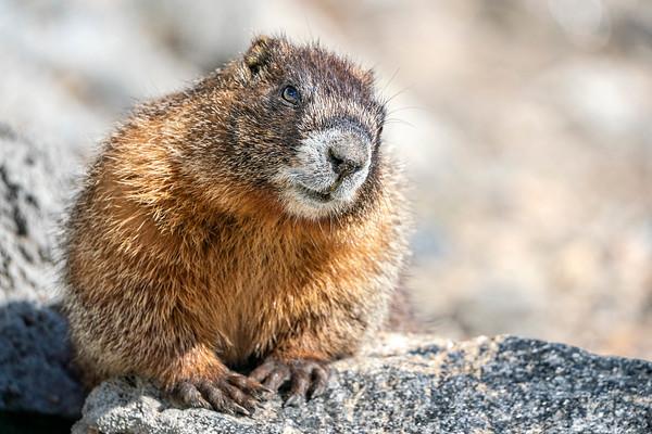Marmot Glamour Shot