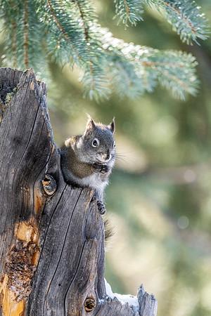 Yellowstone Squirrel