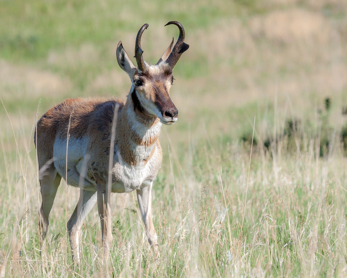 Solitary Pronghorn