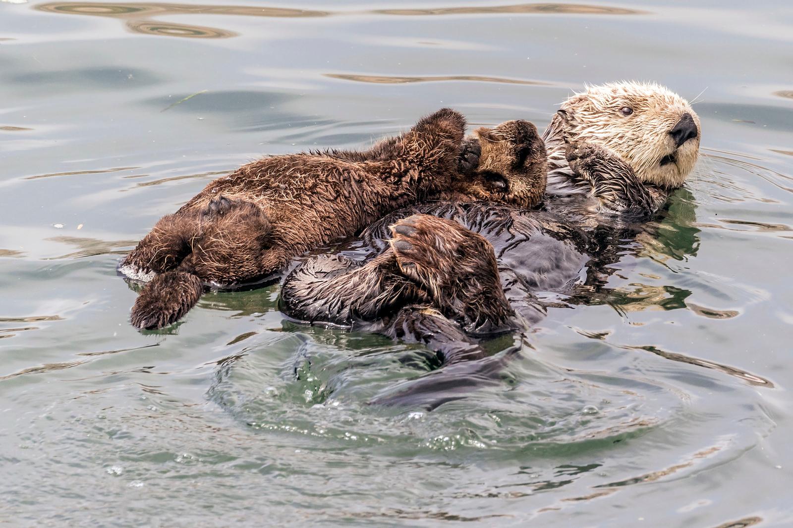 Sea Otter Mama and Baby