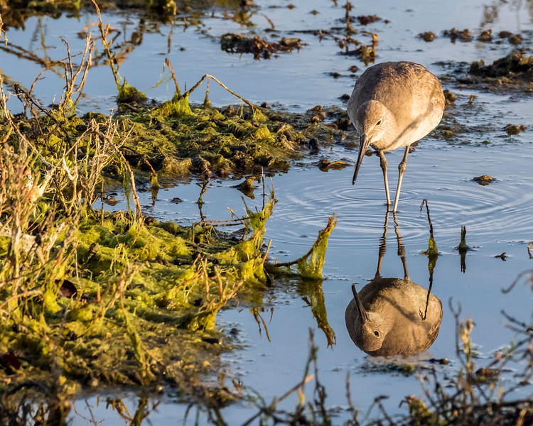 Willet Reflection