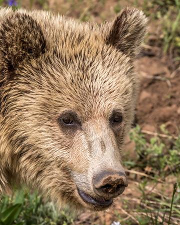 Yellowstone Grizzly Portrait