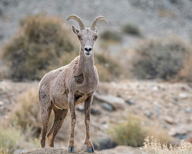 Little Horned Bighorn