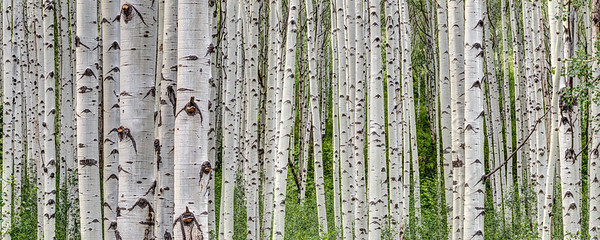 Summer Aspen Grove Panorama