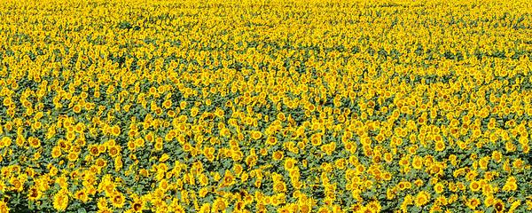 Sunflower Panorama