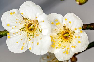Dual Cherry Blossoms