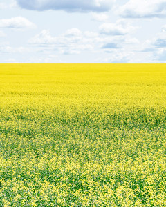 Canola Field Portrait