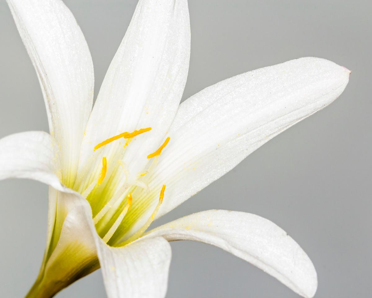 Louisiana Lily