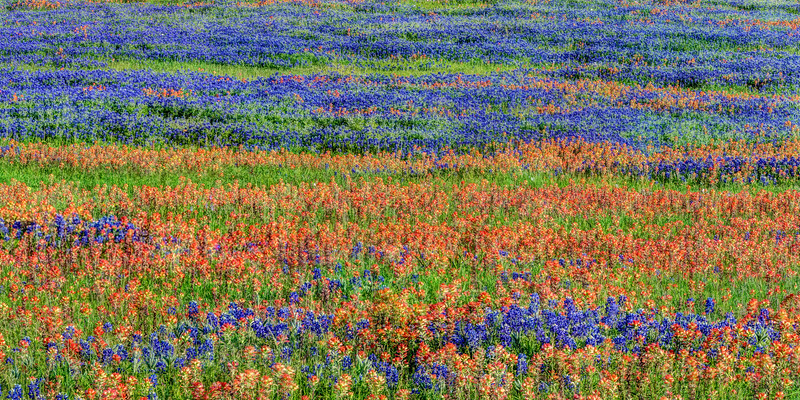 Bluebonnet and Indian Paintbrush Field