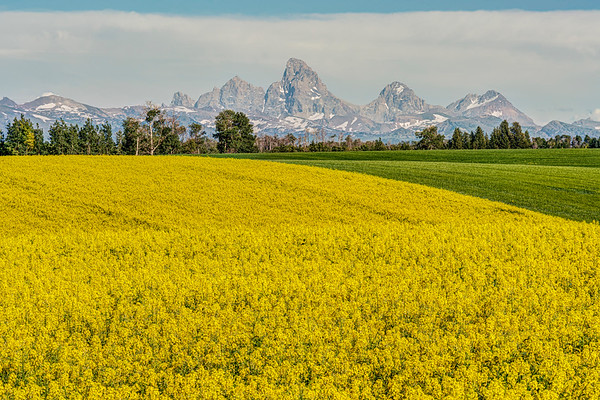 Canola and Tetons