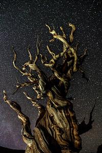 Ancient Bristlecone Pine at Night