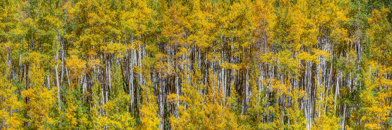 Aspen in Autumn Panorama