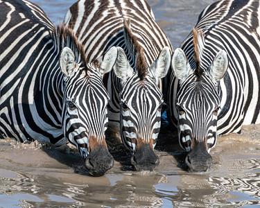 Three Thirsty Zebras