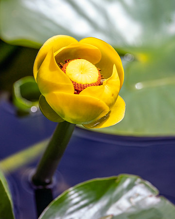 Yellow Pond Lily 1