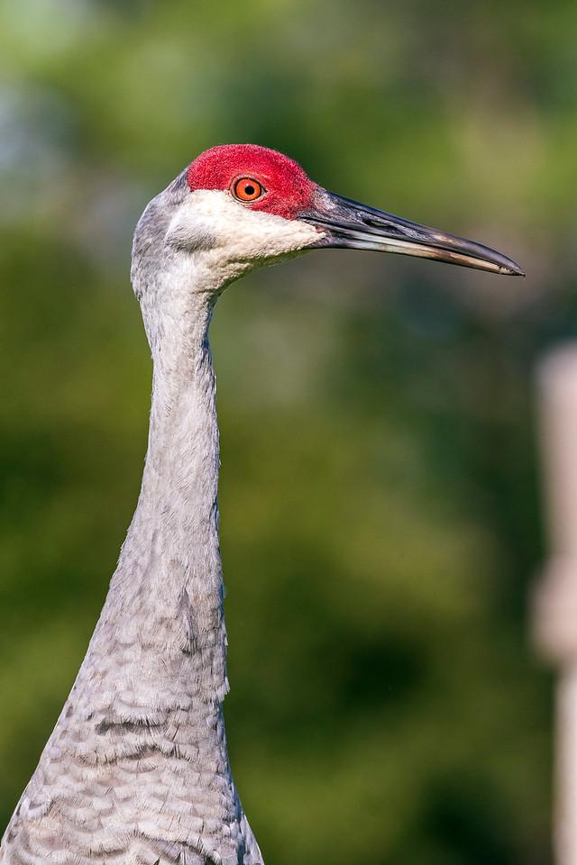 Sandhill Crane Profile