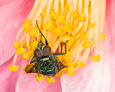 Pollinated Fly