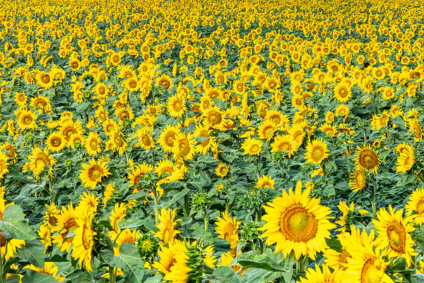 Stacked Sunflowers