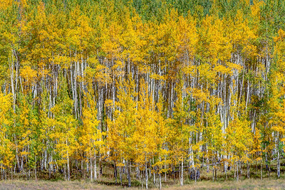 Aspen in Autumn